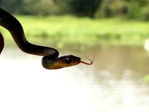 Cobra (Foto: Igor Mota/ Amazônia Jornal)
