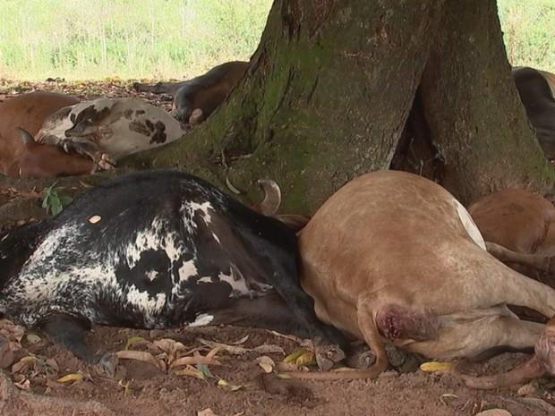 Vacas estavam embaixo da árvore quando o raio caiu (Foto: Reprodução / TV TEM)