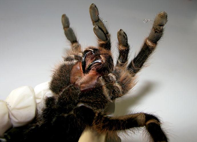 TARÂNTULA | As aranhas do zoológico de Brasília estavam perdendo os pelos por causa do stress e foram tratadas com acupuntura e medicamentos tradicionais para recuperar o equilíbrio (Foto: Divulgação)