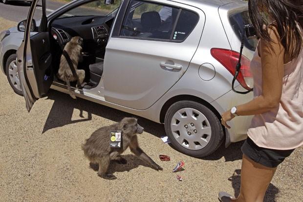 Babuínos são considerados um problema na região urbana da Cidade do Cabo. (Foto: Schalk van Zuydam/AP)
