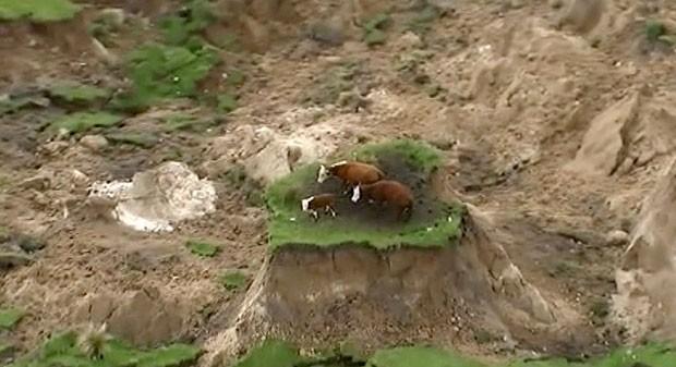 Vacas isoladas em monte de grama após deslizamento de terra provocado por terremoto de magnitude de 7,8 na Nova Zelândia. (Foto: Associated Press/Newshub)