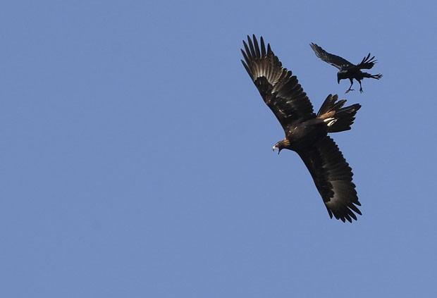 Águia  e um corvo foram flagrados brigando em pleno voo em Gunnedah. (Foto: Rob Griffith/AP)