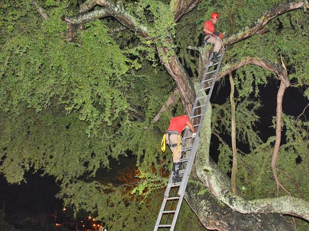 Bombeiros foram chamados para remover árvore caída; nenhuma pessoa se feriu no incidente (Foto: Walter Paparazzo/G1)