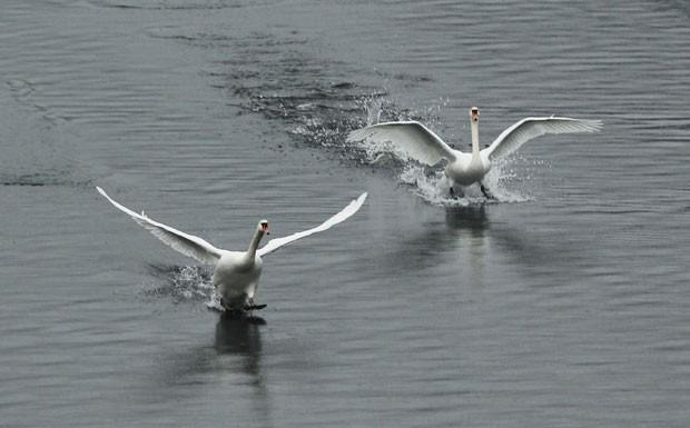 Dois cisnes pareciam disputar corrida ao serem fotografados em um reservatório em Purdys, no estado de Nova York (EUA) (Foto: Eduardo Munoz/Reuters)
