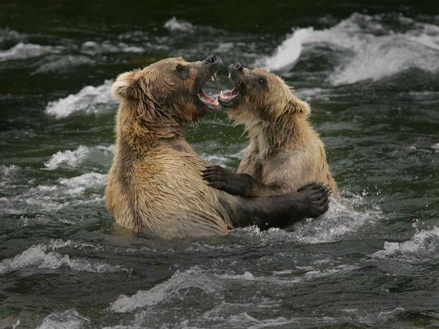 Um dos safáris é voltados apenas para ursos (Foto: Eric Rock/Natural World Safaris/Divulgação)