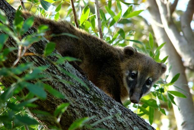 Vive essencialmente em florestas (Foto: Giselda Person / TG)