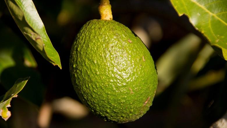 abacate-fruta (Foto: Creative Commons/Sandid)