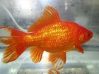 Mãe obriga filha a comer 30 peixes dourados e vai presa no Japão