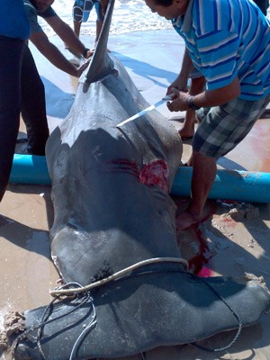 Tubarão Martelo é capturado em praia da Paraíba (Foto: Divulgação/Antonio de Padua Campo de Moura)