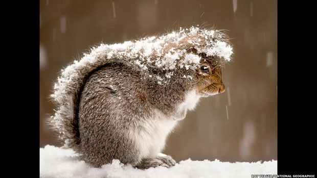 Um esquilo é fotografado durante uma tempestade de neve em Nova Jersey, nos Estados Unidos (Foto: Ray Yeager/National Geographic/via BBC)