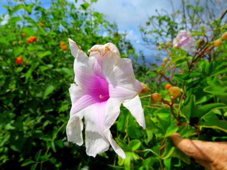 Flores Nororonha