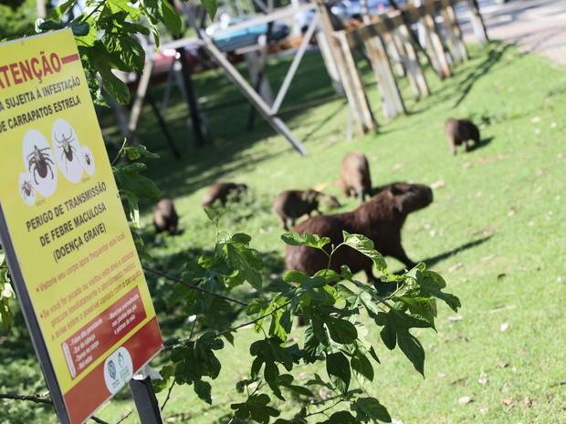 Família de capivaras próximo da placa de alerta para infestação de carrapato estrela (Foto: Mateus Medeiros/Arquivo pessoal)