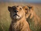 Leões que estrelavam programa de TV são envenenados no Quênia