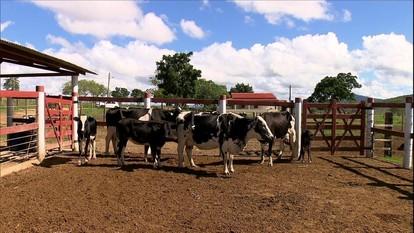 Saiba como produzir uma fazenda de gado leiteiro