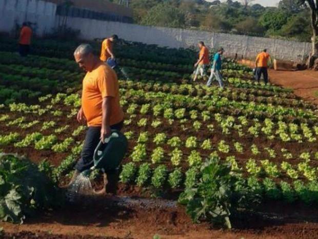 Detentos trabalham em horta no presídio de regime semiaberto de Ponta Porã (Foto: Agepen/ Divulgação)