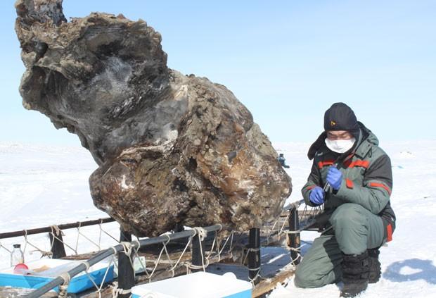 Carcaça de mamute encontrada pelos cientistas na região do Ártico (Foto: Semyon Grigoryev/AFP)