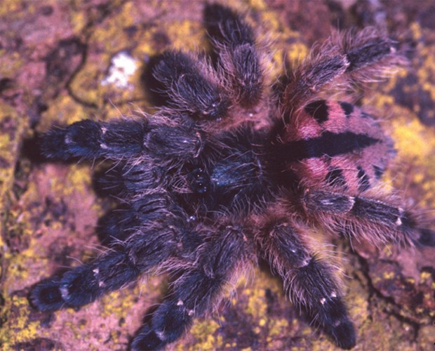 Aranha 'Typhochlena curumim', encontrada na Paraíba (Foto: Reprodução/'ZooKeys')