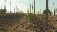 Série 'Plantando Inhame' mostra o início da plantação do tubérculo