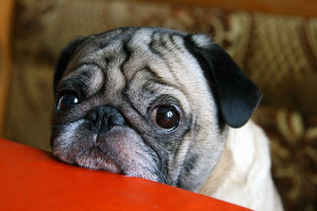 pug with sad eyes sitting at the table (Foto: Getty Images/iStockphoto)