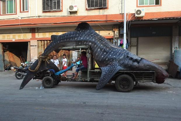 Tubarão-baleia é transportado em veículo na cidade de Quanzhou, na China (Foto: STR/AFP)