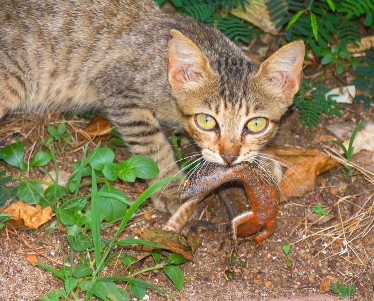 Gato comendo mabuya