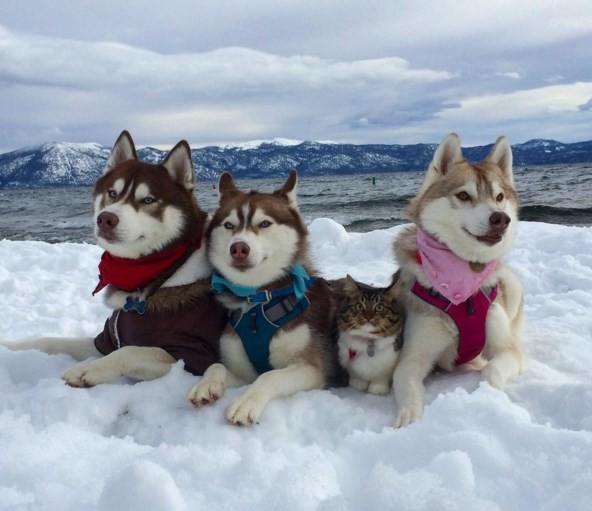 A gatinha Rosie se tornou melhor amiga da husky Lilo e seus outros dois companheiros da raça