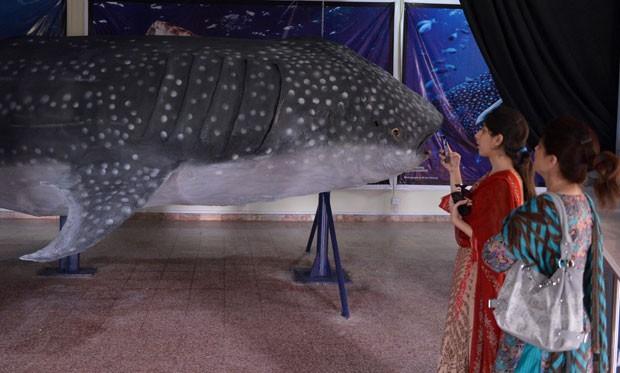 Tubarão-baleia tinha cerca de 50 anos de idade e pesava 16 toneladas quando foi capturado (Foto: Aamir Qureshi/AFP)