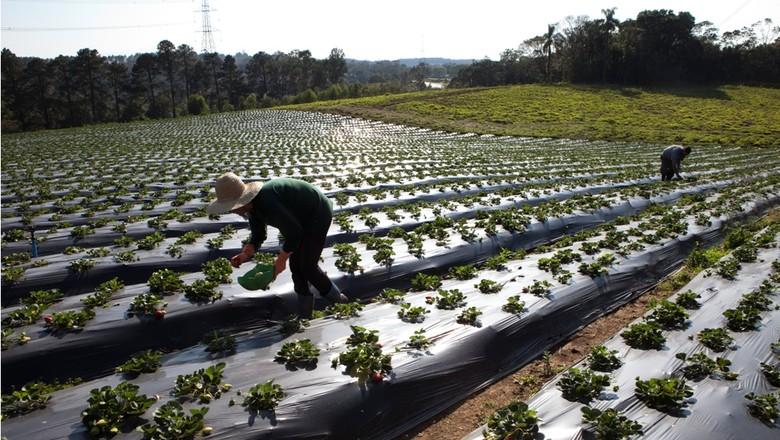 agricultura_hortifruti_morango_ (Foto: Marcelo Min/Ed. Globo)