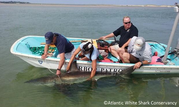 O grupo usou lancha para puxar animal de volta ao mar (Foto: Atlantic White Shark Conservancy/AP)
