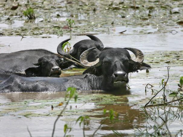 Ação - Caruanas - Búfalos (Foto: Divulgação/Carlos Sodré/Arquivo Ag. Pará)