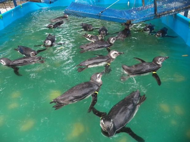 Pinguins recebem cuidados para voltarem à natureza (Foto: Divulgação/IPRAM)