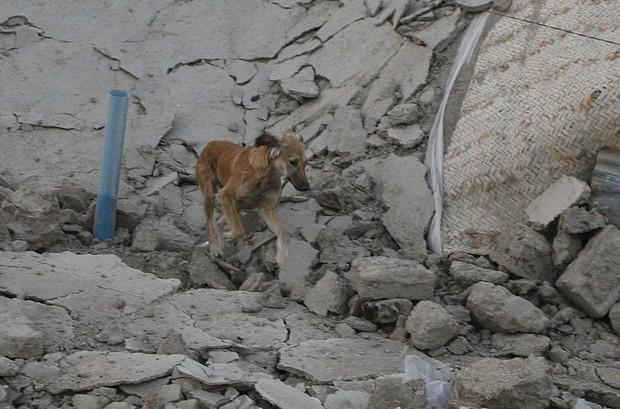 Cão anda entre destroços após terremoto no Paquistão. Animais seriam capazes de prever sismos com até 10 dias de antecedência (Foto: Naseer Ahmed/Reuters)