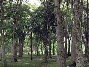 Seringueiras que permanecem na cidade desde a implantação do projeto (Foto: Reprodução/TV Tapajós)