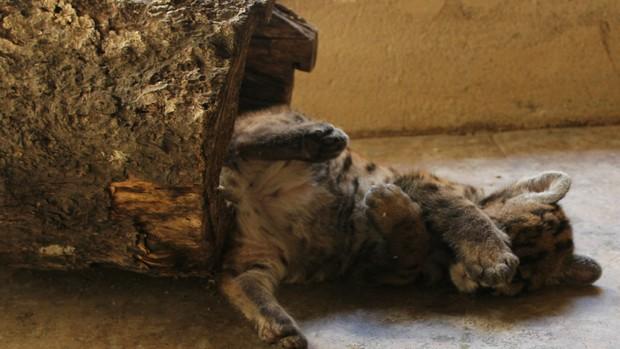 O filhote pesa 2 kg e só se alimenta na mamadeira (Foto: Larissa Matarésio/G1)