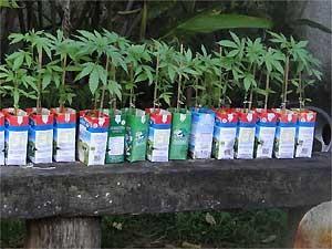 Na chácara foram encontrados 37 pés de maconha (Foto: Divulgação/ Guarda Municipal de Americana)