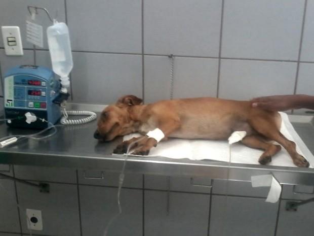 Cachorro salva dono, mas acaba sendo picado por cobra, em Goiás, Goiânia (Foto: Danilo Martins/Arquivo Pessoal)