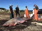 Tubarão branco de 3,7 m é achado morto em praia e intriga especialistas