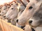 Fazenda investe em técnica para garantir o bem-estar do gado