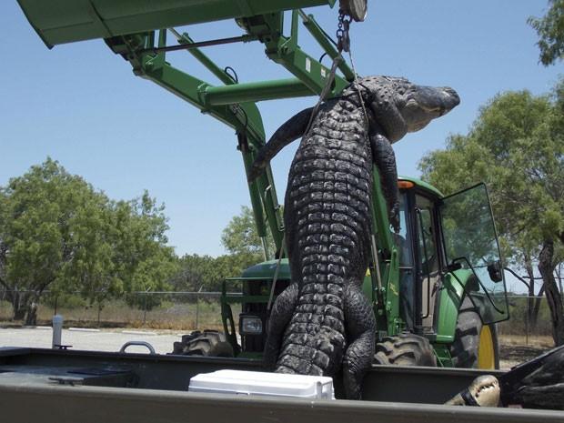 Animal de 360 quilos foi abatido em caçada (Foto: Reuters)