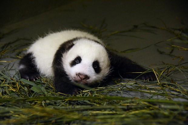 Yuan Zai abre os olhos pela primeira vez.. (Foto: AFP Photo/Taipei City Zoo)