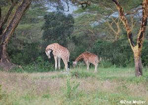 Girafa 'vela' filhote morto (Foto: Zoe Muller/BBC)