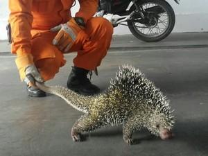 Porco espinho foi resgatado pelo Corpo de Bombeiros (Foto: Divulgação/Corpo de Bombeiros)