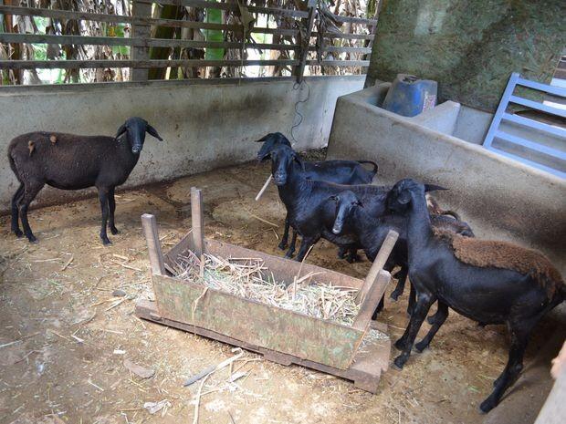 Um carneiro e uma ovelha foram furtados em duas ações dos criminosos (Foto: Marina Fontenele/G1)