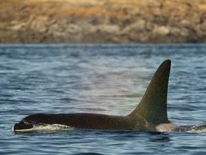 Baleia orca é encontrada na costa das ilhas San Juan, nos EUA; cachorro segue rastro das fezes do animal (Foto: Matthew Ryan Williams/The New York Times)