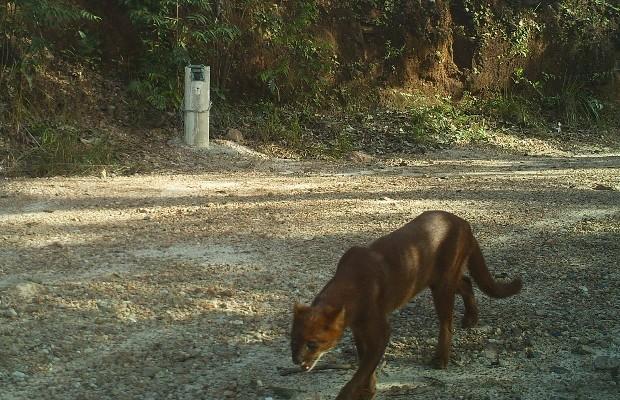 Câmera flagra gato mourisco na Reserva Natural Serra do Tombador, em Cavalcante, Goiás (Foto: Divulgação/Fundação Grupo Boticário)