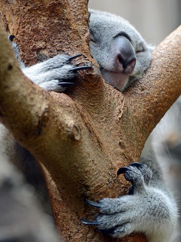 Um coala foi fotografado nesta quinta-feira (1) dormindo abraçado a uma árvore no zoológico de Duisburg, na Alemanha (Foto: Horst Ossinger/AFP)