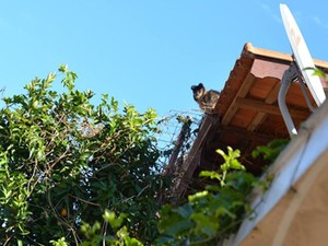Macacos foram flagrados furtando mexerica (Foto: Ana Gabriela Nunes/ VC no G1)