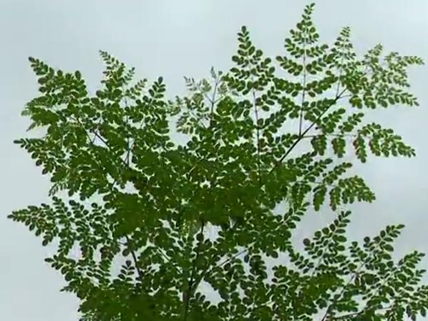 Planta ajuda a inibir a ação dos radicais livres no organismo (Foto: Reprodução/RBS TV)
