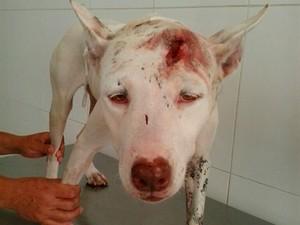 Pit bull espancado começa a ser recuperar em Salvador (Foto: Arquivo pessoal)