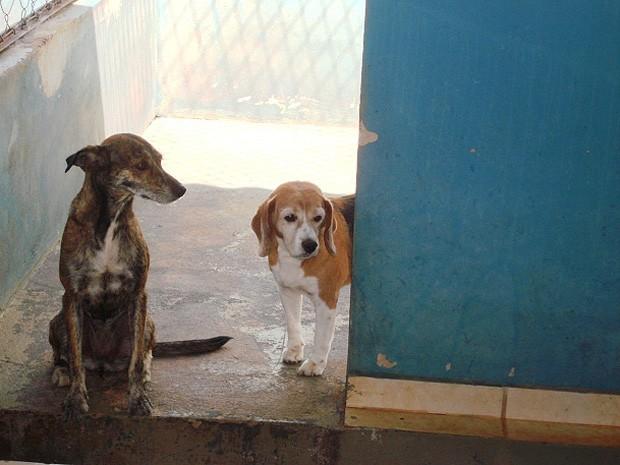 Cão Gabriel, da raça Beagle, sacrificado no Centro de Zoonoses por apresentar sarna (Foto: Arquivo pessoal)